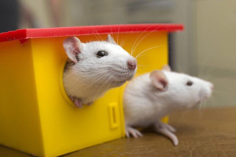 szczur czy mysz jak rozroznic